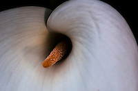 Calla lily in natural light.