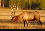 Bull Elk Tasting Pheromones at Sunset, Norris Junction, Yellowstone National Park, Wyoming