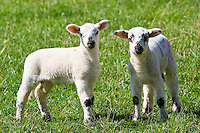 Lambs in the Cotswolds, Oxfordshire, United Kingdom, UK.
