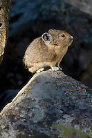 American Pika (Ochotona princeps) on scree rock pile, Sheepeaters Cliff, Yellowstone National Park, Wyoming, USA.