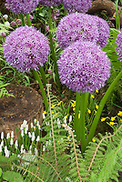 Allium 'Globe Master' ornamental onion with white grape hyacinth bulbs, fern, tiny Narcissus daffodil species, in spring bloom