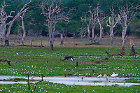 Swamp land in Yala National Park, Wildlife, Sri Lanka