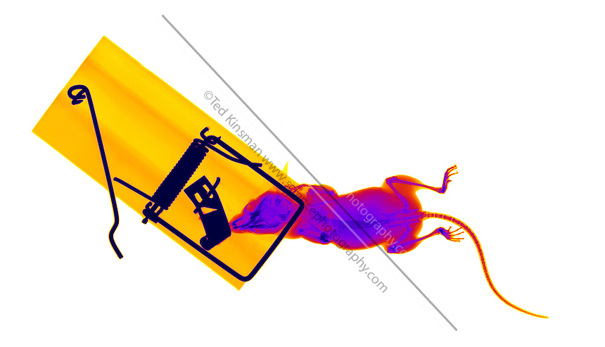 An X-ray of a common mouse cought in a mouse trap.