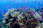Kauehi Atoll, Tuamotu Archipelago, French Polynesia; a school of purple queen anthias fish swimming amongst a colony of branching hard corals on the reef