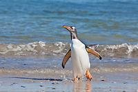 Carcass Island, Gentoo penguin, Falkland Islands.