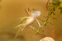 Smooth Newt or Common Newt larvae (Lissotriton vulgaris), Switzerland