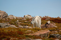 Close up of Mt. Evans mountain Goat