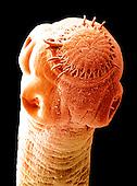 Dog Tapeworms ,Taenia pisiformis, may reach up to 15 feet in length. Seen here are the suckers and hooks on the scolex used by the worm endoparasite to attach to its host. SEM X75.