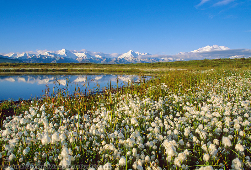 Alaska Cotton, Small Tundra Pond, Alaska Mountain Range, Mt. Denali Far Right, Denali National Park, Alaska