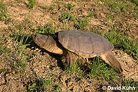 0611-0911  Snapping Turtle, Chelydra serpentina  © David Kuhn/Dwight Kuhn Photography