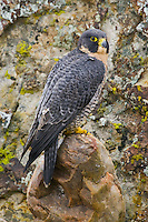 Peregrine Falcon perched in front of a lichen covered rock face