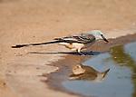 Scissor-tailed Flycatcher at waterhole