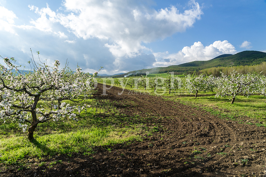 Apple trees in bloom in Hungary