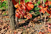 Leaves on a grapevine turn a brilliant orange in October along Old River Road between Hopland and Ukiah in Mendocino County in Northern California.