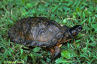 1R08-004z  Wood Turtle - Clemmys insculpta