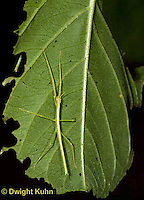 OR07-542z  Walking Stick Insect, juvenile camouflaged on tree, Acrophylla wuelfingi