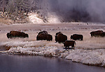 bison near Firehole River in Biscuit Basin in autumn