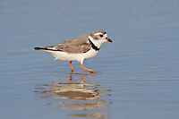 571880009 wild adult piping plover charadrius melodus an endangered species migrating waterfowl in breeding plumage walks along the shoreline feeding at boca chica beach on the south texas coast