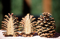 PINECONES<br /> Ponderosa Pinecone Cross Section
