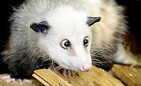 Baustelle Gondwanaland Zoo Leipzig und Opossum Heidi