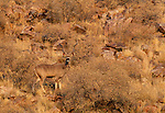 Greater kudu, Kalahari Desert, South Africa