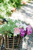Detail of a wicker bicycle basket full of freshly cut roses
