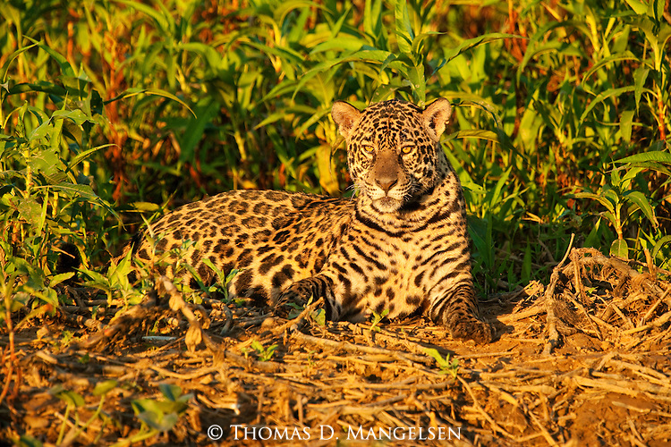 A jaguar rests on a river bank at the edge of the jungle in the Pantanal, Mato Grosso, Brazil.