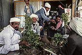 Yemen. Sanaa. qat eaters       /   mangeurs de Quat a Sanaa    /      L0007538  /    P111653