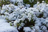 Besneeuwde peterselie - Snowy Parsley