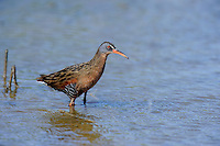 575100018 a wild adult virginia rail railus limicola forages in a shallow pond near the pacific ocean in ventura county california united states