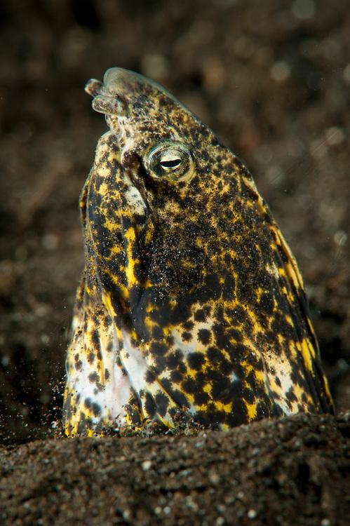 Marbled snake eel: Callechelys marmorata, emerging from black volcanic sand, Komodo National Park