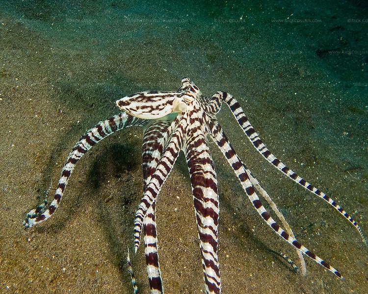 Mimic Octopus Crab a Mimic Octopus Moves as