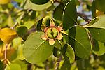 Mangrove flower (Sonneratia caseolaris)