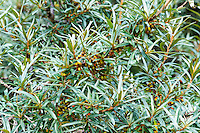 Norway, Stokkøya. Common Sea-Buckthorn with berries.