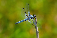 389330002 a wild male hoary skimmer libellula nodisticta perches on a dead twig near fish slough mono county california united states