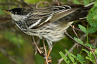 591510012 a wild male blackpoll warbler setophaga striata - was dendroica striata - in breeding plumage perches in a mesquite bush on south padre island texas united states