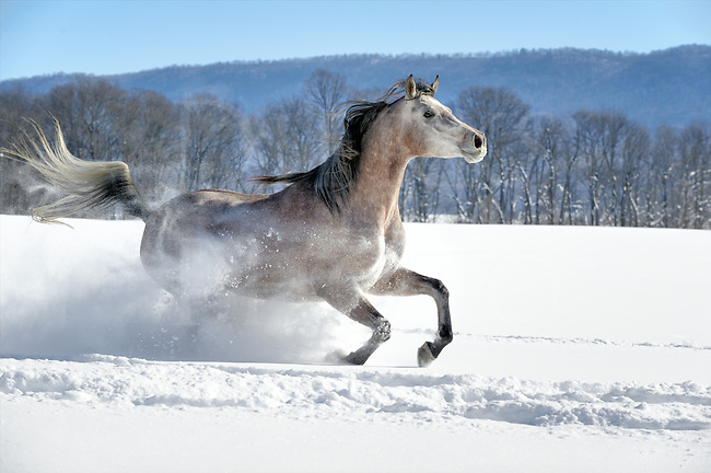 This is Allegra, an Arabian mare who greatly loved running through this twenty inches of deep, fresh snow the morning after it fell. She went round and round the paddock circling me closely in the sunshine, enjoying herself making the powder snow smoke fly like a school kid on a snow day! She's showing her stuff running right by the camera at a full gallop, living up to her name. She kept her eye on me the whole way through our shoot on every pass.<br /> <br /> Horses are just like people and they like to have fun just as we do. If you have never seen a horse having a great time, this is it, you are looking at a very happy horse!