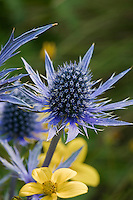 Eryngium 'Sapphire Blue'- deer resistant spikey perennial, teasel-like flowers of Amethyst Sea Holly with Bidens 'Gold Marie' at Cambria Pines Lodge garden