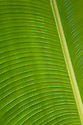 Banana tree leaf; Waihe'e Valley, Maui, Hawaii.