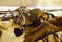 Turquie 1991.Les réfugiés kurdes sur la frontière, un homme exténué dans un dispensaire.Turkey 19991.Kurdish refugees on the border, an exhausted man in an health center
