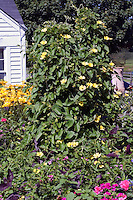 Climbing Vine Thunbergia alata 'Sunny Yellow Star' in garden border with house, Lilium; Impatiens; Salvia farinacea; Verbena and annual summer garden plants