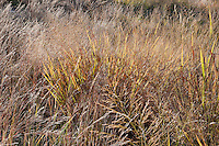 108000001 little bluestem schizachyrium scoparium native grasses and other native plants on the laurels ranch owned by dave and myrna langford in the hill country of central texas united states