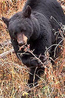Black bears(Ursus americanus)really love rose hips in the fall! Blacktail Plateau, Yellowstone.