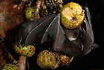 A musky fruit bat (Ptenochirus Sp.) eating a fig in Sierra Madre Natural Park.
