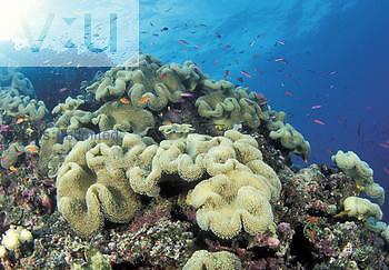 Reef scene with Leather Coral ,Sarcophyton trocheliophorum, and fish schools, Fiji.