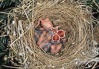 Mönchsgrasmücke, bettelnde, sperrende Küken im Nest, Mönchs-Grasmücke, Grasmücke, Sylvia atricapilla, blackcap