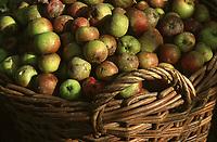 Europe/France/Bretagne/22/Côtes d'Armor/Pleudihen-sur-Rance: La récolte des pommes à cidre - Détail des pommes