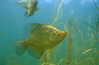 Black Crappie<br /> <br /> ENGBRETSON UNDERWATER PHOTO