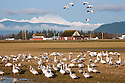 WA08110-00...WASHINGTON - Flock of snow geese in a farm field on the Fir Island section of the Skagit Wildlife Area with Mount Baker in the distance.