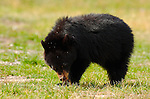 Black Bear Cub Eating Daisy, Roosevelt Lodge, Yellowstone National Park, Wyoming